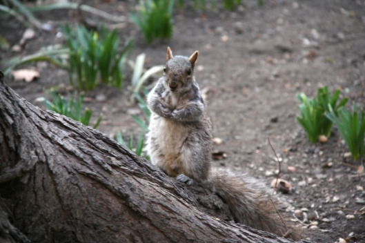Una ardilla en el Madison Square Park.