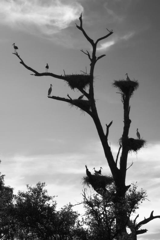 Cigüeñas